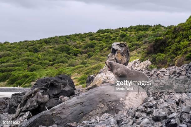 New Zealand Fur Seal (Arctocephalus forsteri) roaring on rock, Blackhead, Dunedin, Otago, Southland, New Zealand