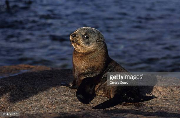 new zealand fur seal,arctocephalus forsteri, young, south australia - baby seal stock photos and pictures