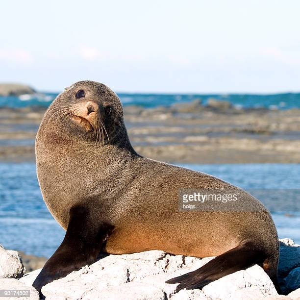 new zealand fur seals - colony group of animals stock photos and pictures