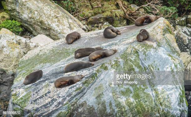 New Zealand fur seals sleeping on the seal rock at Milford Sound.