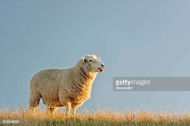 New Zealand, Golden Bay, Wharariki Beach, sheep on top of a ridge in the evening sun