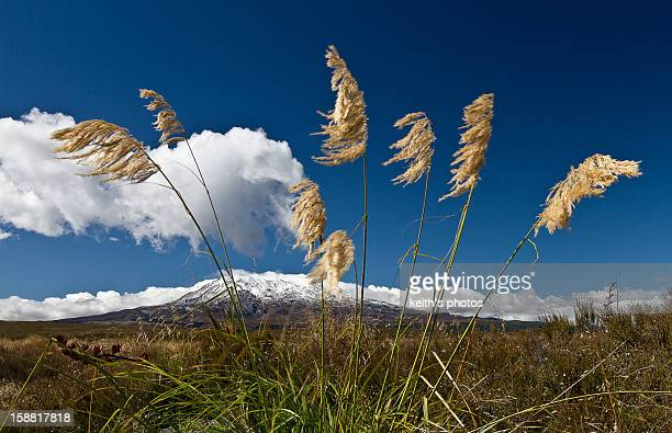 New Zealand - Grass blowing in the wind