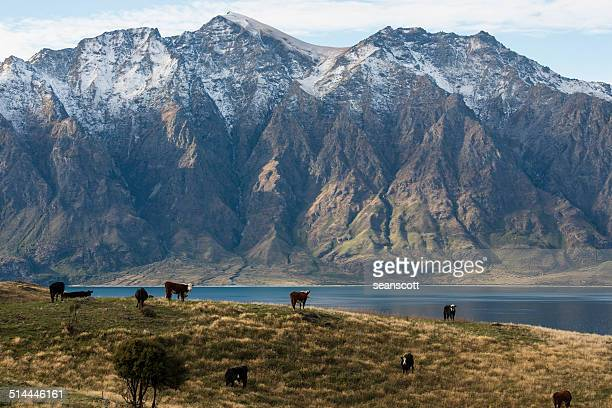 New Zealand, Grazing cows with mountains in background