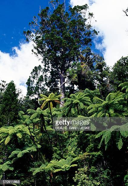 New Zealand kauri Waipoua Forest North Island New Zealand