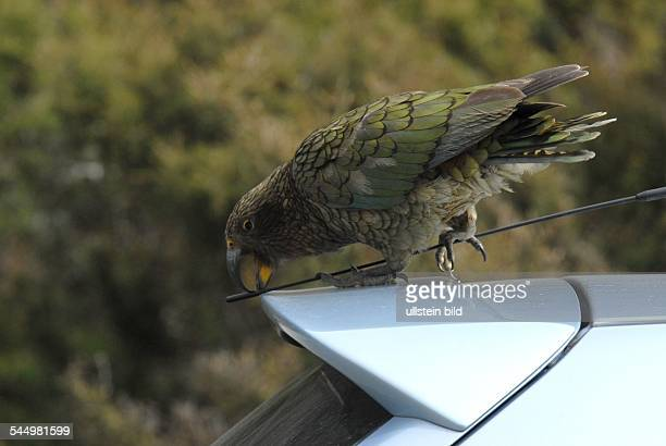 New Zealand Kea New Zealand mountain parrot is picking at the antenne of a tourist´s vehicle