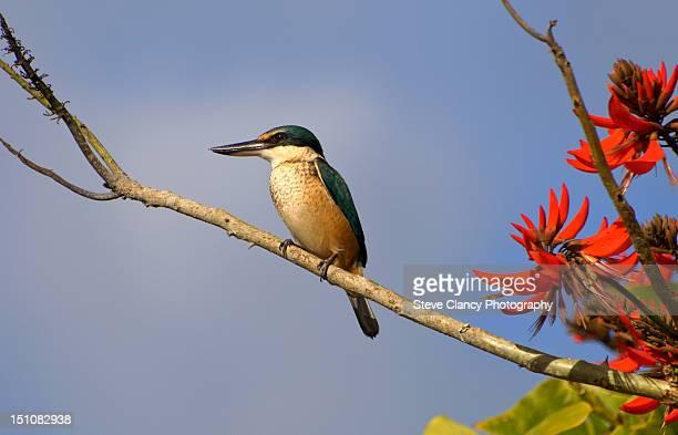 New Zealand Kingfisher enjoying the sun