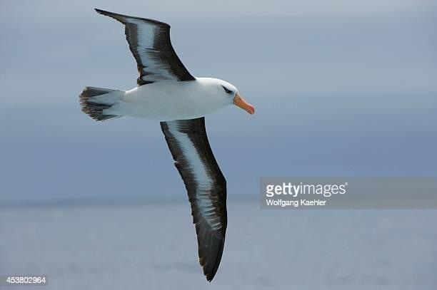 New Zealand Near Campbell Island Campbell Albatross In Flight