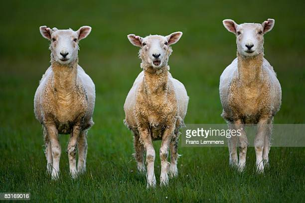new zealand, near invercargill. sheep. - invercargill stock pictures, royalty-free photos & images