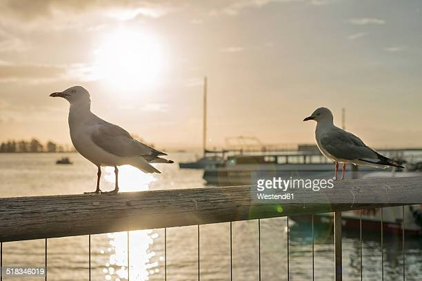New Zealand, Nelson, seagulls in back light on a handrail with the sun setting over the harbor