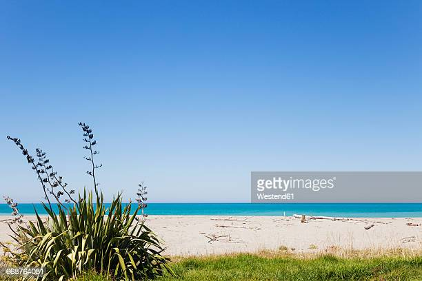 New Zealand, North Island, East Cape region, Tokomaru Bay, New Zealand Flax, Phormium tenax, South Pacific, beach