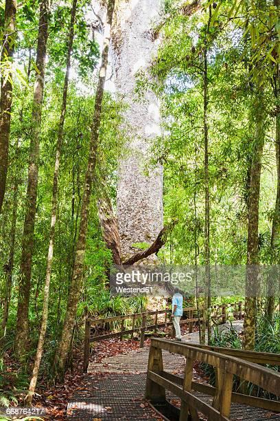 New Zealand, North Island, Northland, Waipoua Kauri Forest, man gazing at hugeKauri tree