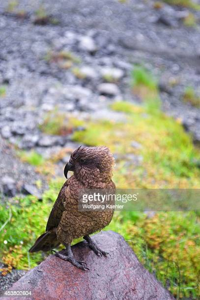 New Zealand Oceania South Island Fiordland National Park Kea