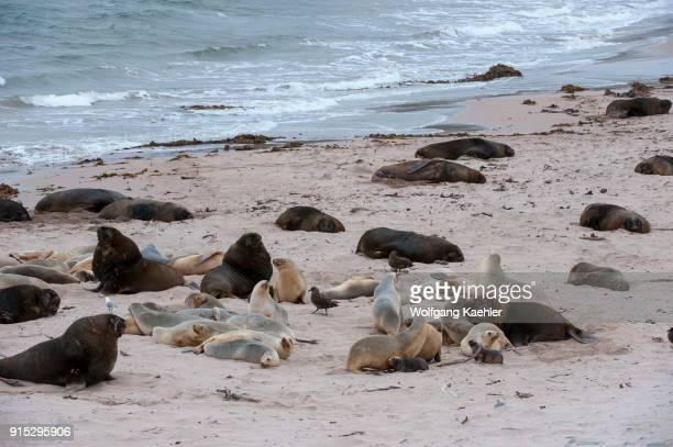 New Zealand sea lions also known as Hookers sea lion on a beach at Enderby Island a subAntarctic Island in the Auckland Islands archipelago New...