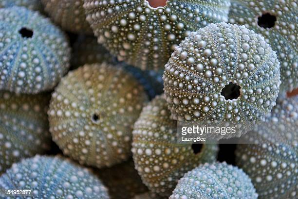 new zealand sea urchin or evechinus chloroticus - sea urchin stock pictures, royalty-free photos & images