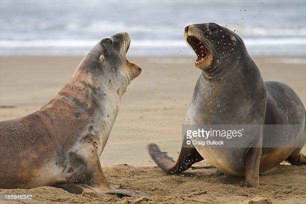 new zealand seal lions playfighting - southland new zealand stock pictures, royalty-free photos & images