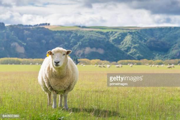Fondo de granja y montaña de ovejas de Nueva Zelanda.