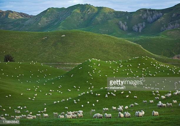 New Zealand, Sheep herd at Coromandel Peninsula