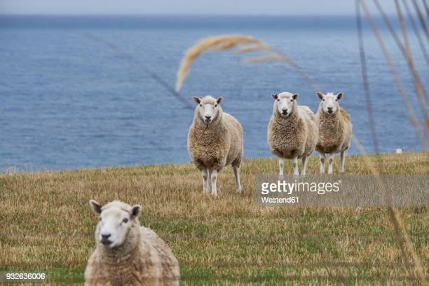 New Zealand, South Island, Dunedin, Otago Peninsula, sheep at the coast