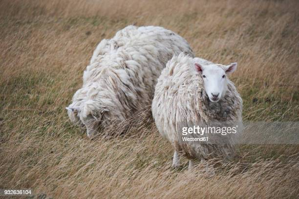 New Zealand, South Island, Dunedin, Otago Peninsula, sheep on meadow
