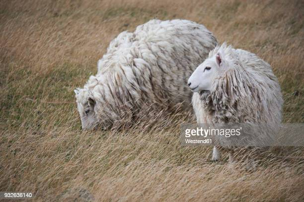 new zealand, south island, dunedin, otago peninsula, sheep on meadow - dunedin new zealand stock pictures, royalty-free photos & images