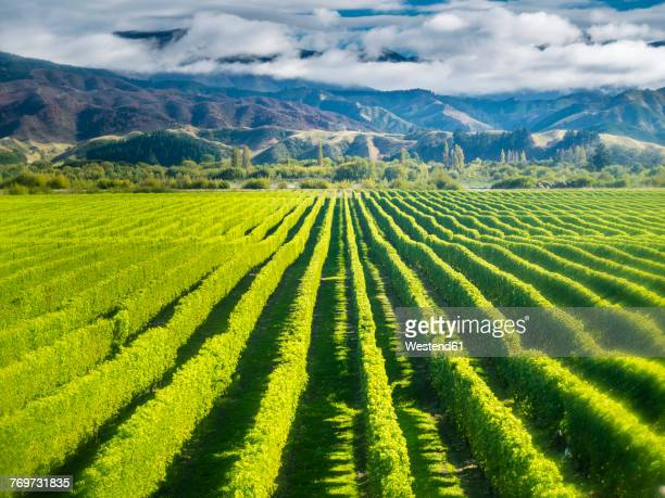 new zealand, south island, marlborough, vineyard in blenheim - blenheim new zealand stock pictures, royalty-free photos & images