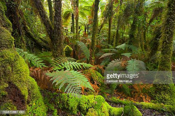 New Zealand, South Island,  West Coast, native bush