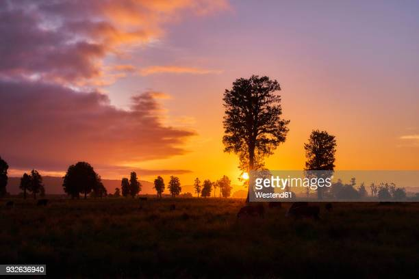 New Zealand, South Island, Westland National Park, cows on meadow at sunset