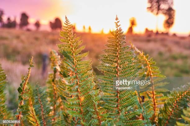 New Zealand, South Island, Westland National Park, fern at sunset