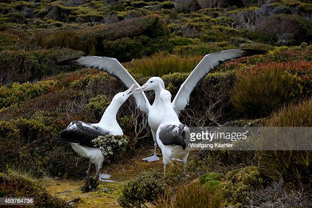 New Zealand Subantarctica Enderby Island Group Of Southern Royal Albatross Gamming Courtship Behavior