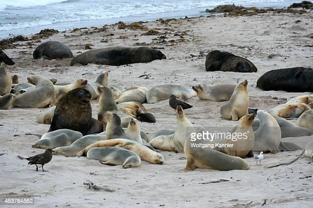 New Zealand Subantarctica Enderby Island Hooker's Sea Lions Beachmaster With Harems