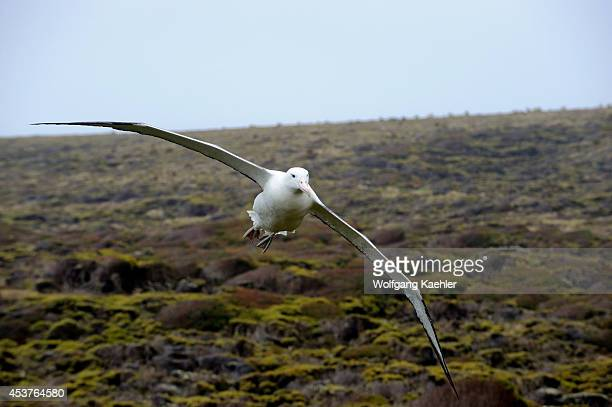 New Zealand Subantarctica Enderby Island Southern Royal Albatross Coming In For Landing