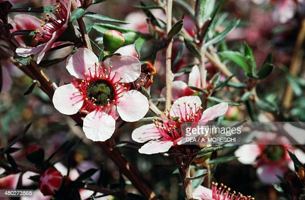 New Zealand Tea or Manuka Myrtaceae