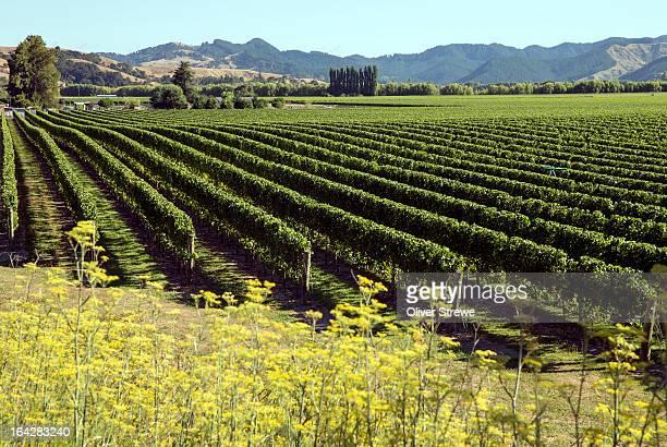 new zealand vineyard - gisborne stock photos and pictures