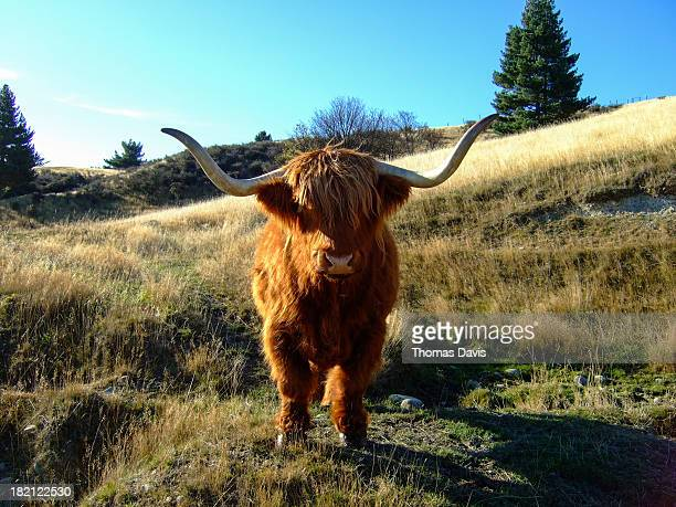 new zealand yak - yak stock pictures, royalty-free photos & images