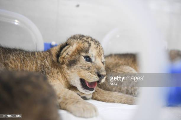 Newborn African lion cub is seen at a zoo on October 3, 2020 in Nanjing, Jiangsu Province of China. African lion quadruplets born on the first day of...