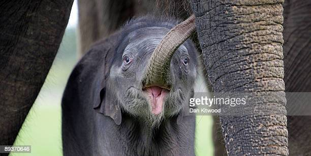 Newborn Asian elephant stands with other members of its herd at Whipsnade Wild Animal Park on July 28, 2009 in Whipsnade, England. The 6 day old...