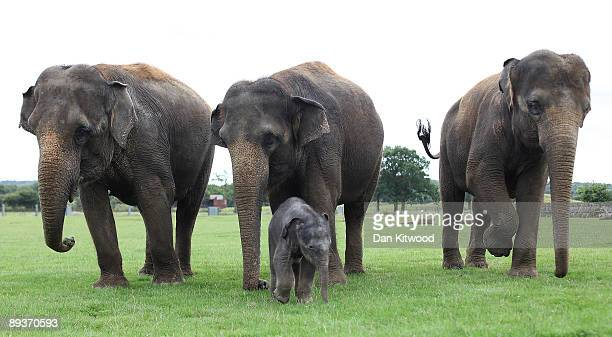 A newborn Asian elephant walks with other members of its herd at Whipsnade Wild Animal Park on July 28 2009 in Whipsnade England The 6 day old Asian...