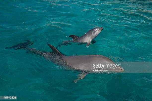 Newborn Atlantic bottlenose dolphin and mother Curacao Netherlands Antilles