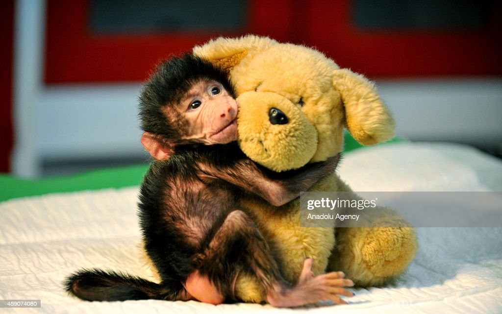A newborn baboon cuddles a teddy bear after its mom refused to have her at Gaziantep Zoo, in Gazitantep, Turkey on November 15, 2014. Gaziantep Zoo clinic chief and mother-of-two Ozsun Yurt Gunes (not seen) takes care of the newborn baby at her home after she finishes her shifts at the Zoo.