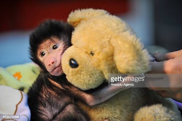 A newborn baboon cuddles a teddy bear after its mom refused to have her at Gaziantep Zoo in Gazitantep Turkey on November 15 2014 Gaziantep Zoo...