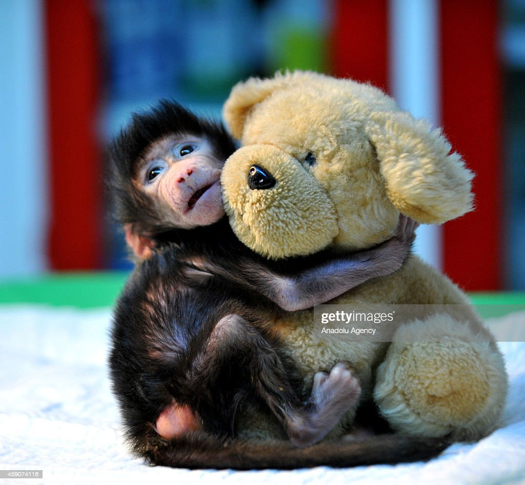 A newborn baboon cuddles a teddy bear at Gaziantep Zoo after its mom refused to have her at Gaziantep Zoo, in Gazitantep, Turkey on November 15, 2014. Gaziantep Zoo clinic chief and mother-of-two Ozsun Yurt Gunes (not seen) takes care of the newborn baby at her home after she finishes her shifts at the Zoo.