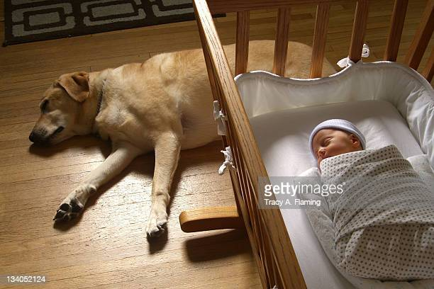 Newborn baby and yellow labrador nap in sunlight