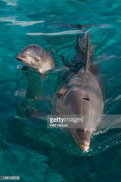 Newborn baby Atlantic bottlenose dolphin and mother Curacao Netherlands Antilles