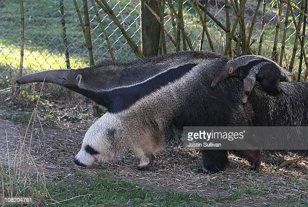 Newborn baby Giant Anteater rides on the back of his mom, Evita, at the San Francisco Zoo on January 20, 2011 in San Francisco, California. The new...