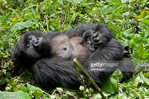Newborn Baby Gorilla sleeping at mothers chest