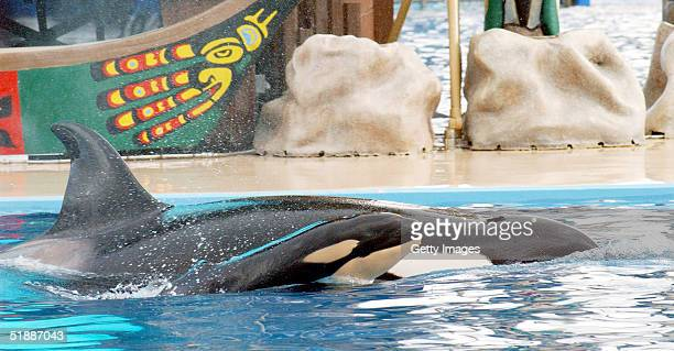A newborn baby killer whale swims with it's mother Kasatka on December 21 2004 at Shamu Stadium at SeaWorld Stadium in San Diego California Kasatka a...