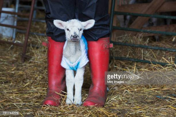 Newborn baby lamb dressed in a knitted jumper standing between the legs of a person wearing red Wellington Boots.