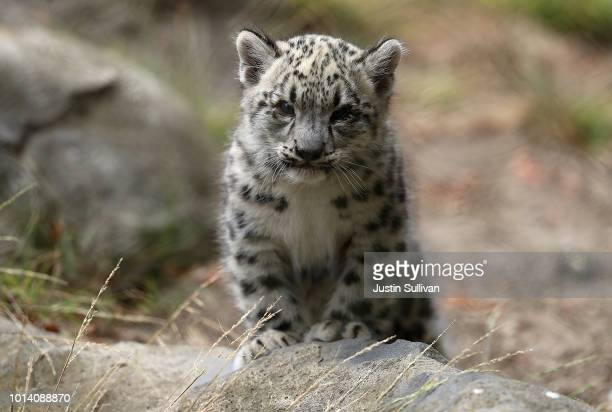 A newborn baby Snow Leopard cub walks through its enclosure at the San Francisco Zoo on August 9 2018 in San Francisco California A pair of two...