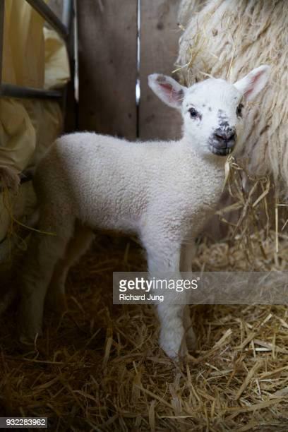 Newborn Beulah lamb standing next to mother ewe.