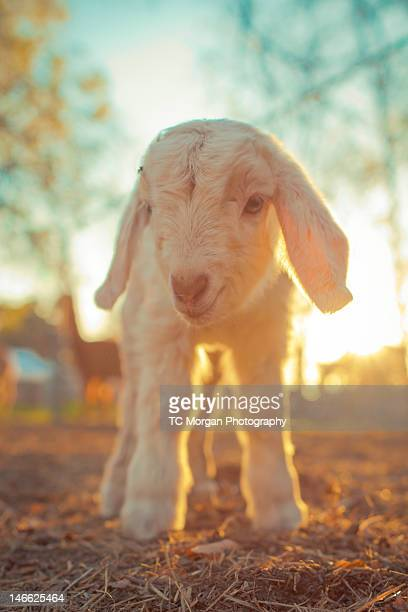 Newborn Boer goat